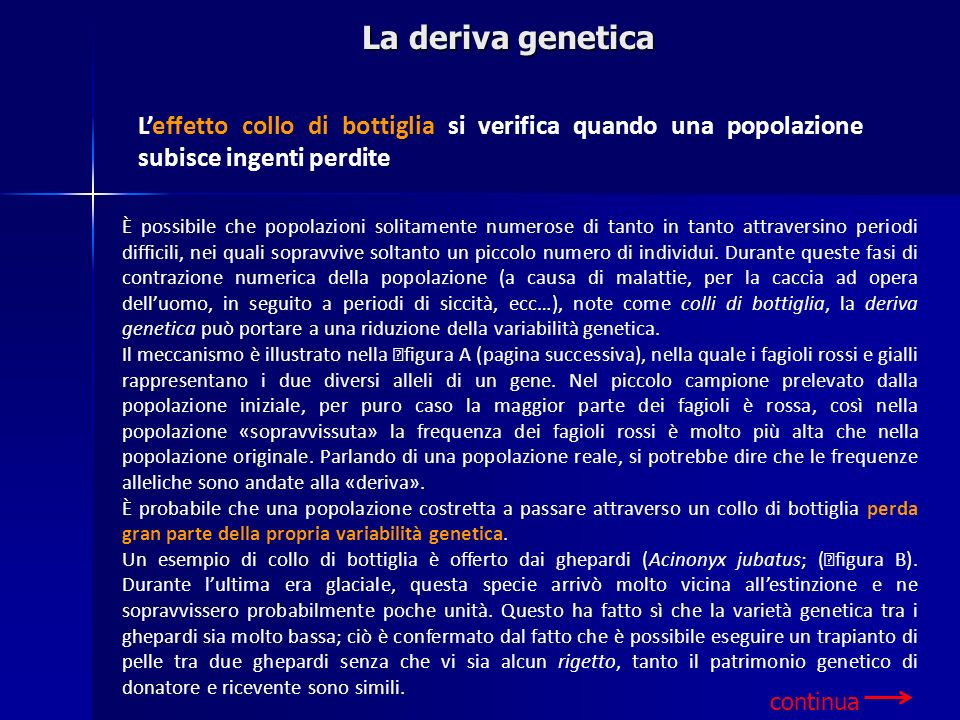 Leffetto collo di bottiglia si verifica quando una popolazione subisce ingenti perdite La deriva genetica È possibile che popolazioni solitamente nume