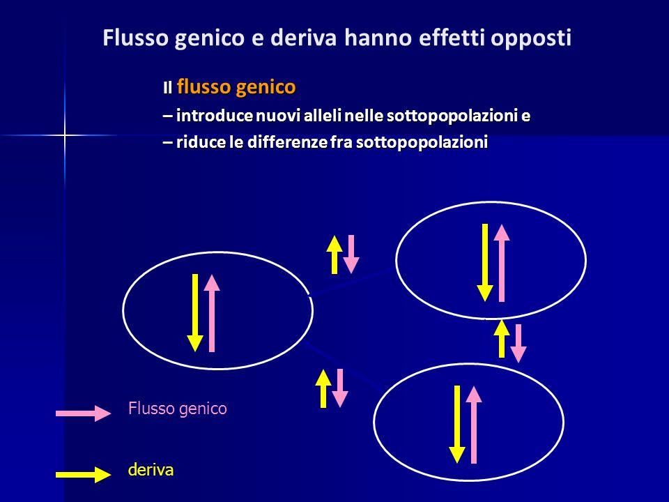 Il flusso genico – introduce nuovi alleli nelle sottopopolazioni e – riduce le differenze fra sottopopolazioni Flusso genico deriva Flusso genico e de