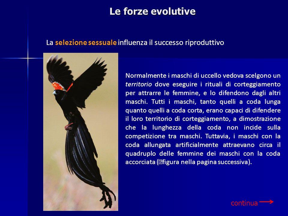 Le forze evolutive La selezione sessuale influenza il successo riproduttivo Normalmente i maschi di uccello vedova scelgono un territorio dove eseguir
