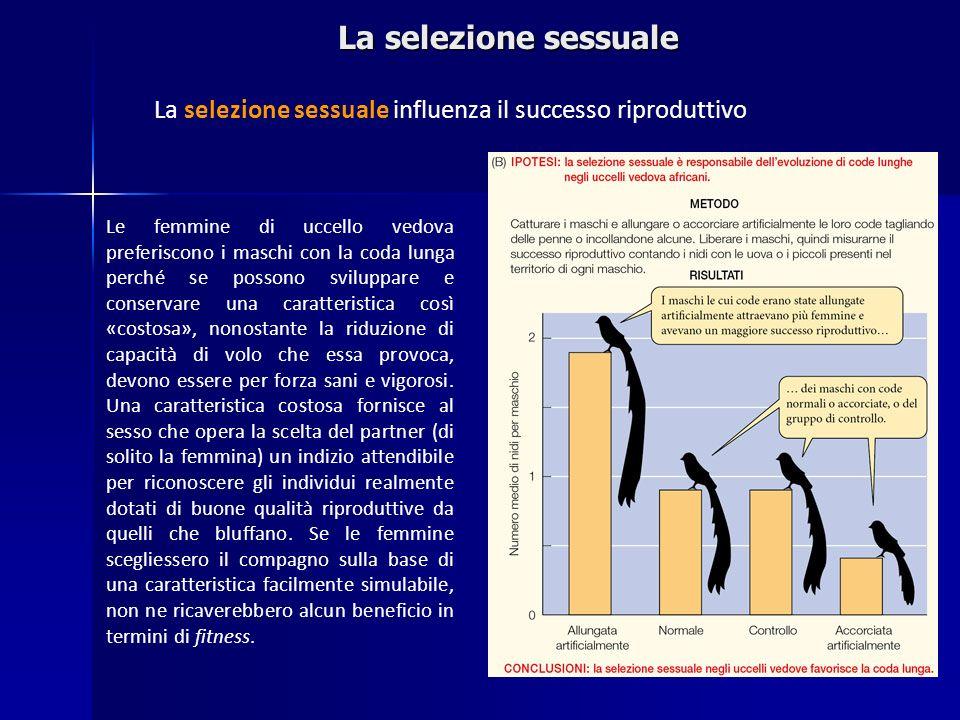 La selezione sessuale La selezione sessuale influenza il successo riproduttivo Le femmine di uccello vedova preferiscono i maschi con la coda lunga pe