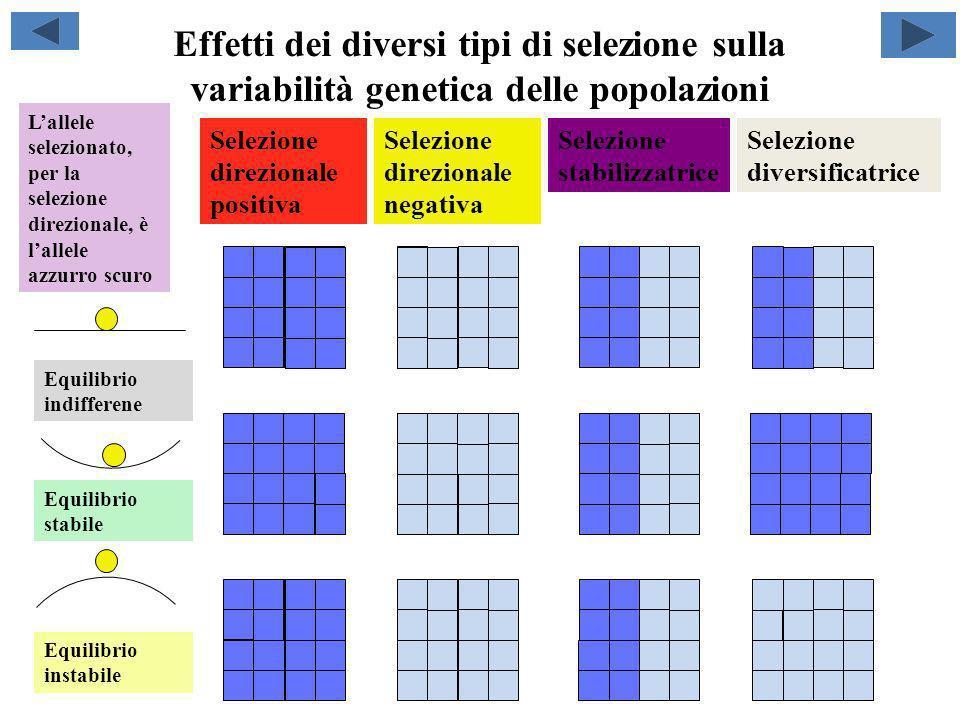 Effetti dei diversi tipi di selezione sulla variabilità genetica delle popolazioni Selezione direzionale positiva Selezione direzionale negativa Selez