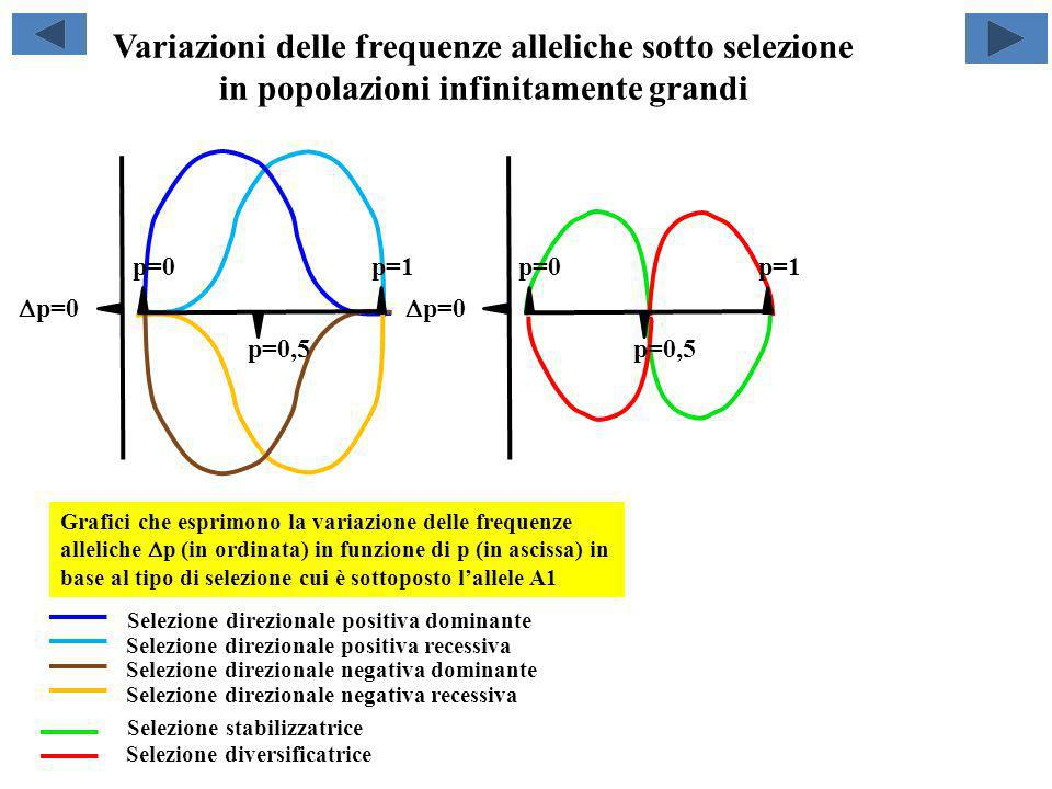 Variazioni delle frequenze alleliche sotto selezione in popolazioni infinitamente grandi p=0 p=1 p=0,5 p=0 p=1 p=0,5 Grafici che esprimono la variazio