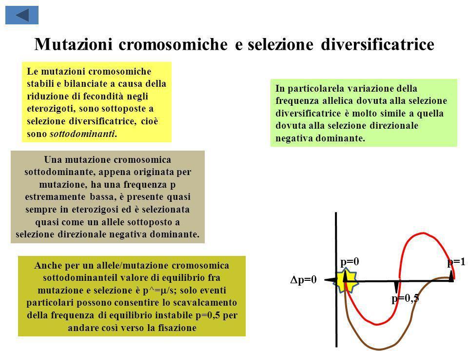 Mutazioni cromosomiche e selezione diversificatrice Le mutazioni cromosomiche stabili e bilanciate a causa della riduzione di fecondità negli eterozig