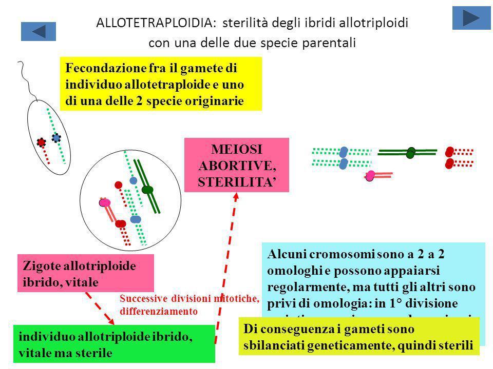 ALLOTETRAPLOIDIA: sterilità degli ibridi allotriploidi con una delle due specie parentali Fecondazione fra il gamete di individuo allotetraploide e un