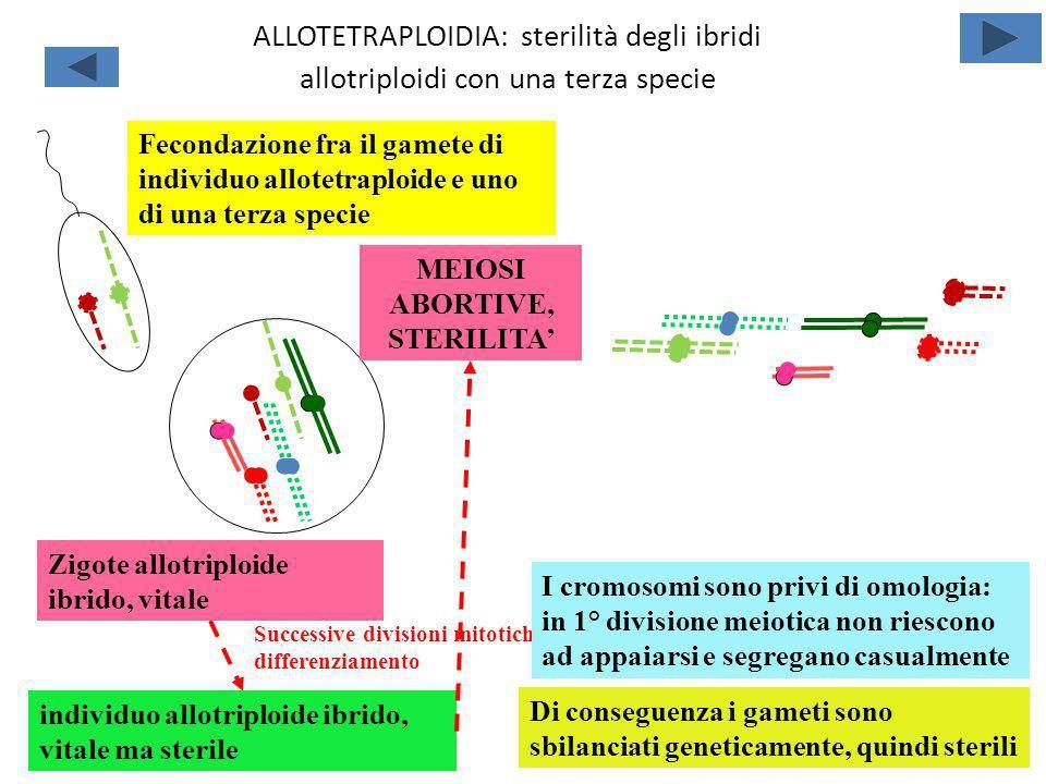 ALLOTETRAPLOIDIA: sterilità degli ibridi allotriploidi con una terza specie Fecondazione fra il gamete di individuo allotetraploide e uno di una terza