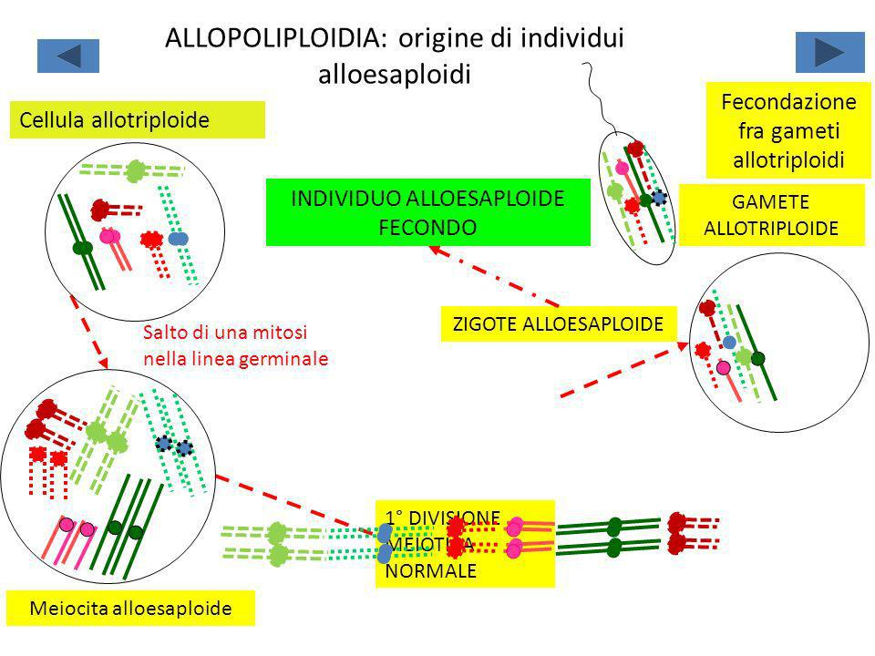 Salto di una mitosi nella linea germinale Meiocita alloesaploide Fecondazione fra gameti allotriploidi ZIGOTE ALLOESAPLOIDE INDIVIDUO ALLOESAPLOIDE FE