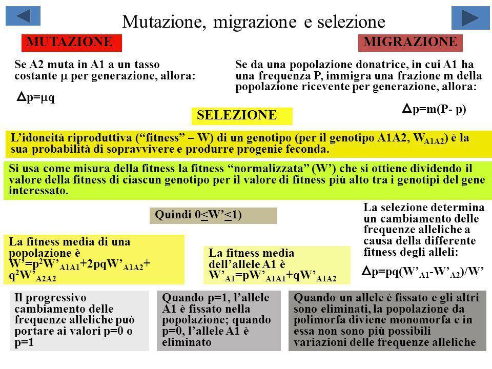 Mutazione, migrazione e selezione MIGRAZIONEMUTAZIONE p= q Se A2 muta in A1 a un tasso costante per generazione, allora: Se da una popolazione donatri