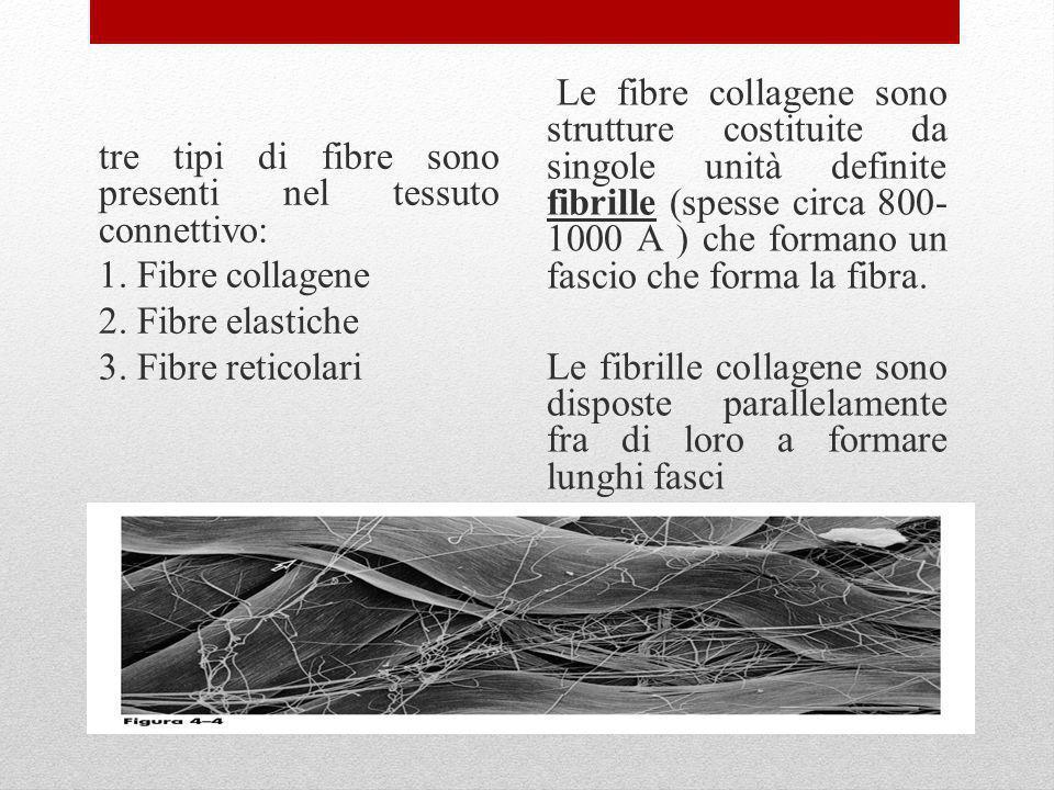 tre tipi di fibre sono presenti nel tessuto connettivo: 1. Fibre collagene 2. Fibre elastiche 3. Fibre reticolari Le fibre collagene sono strutture co