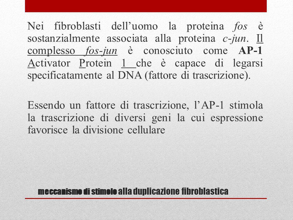 meccanismo di stimolo alla duplicazione fibroblastica Nei fibroblasti delluomo la proteina fos è sostanzialmente associata alla proteina c-jun. Il com
