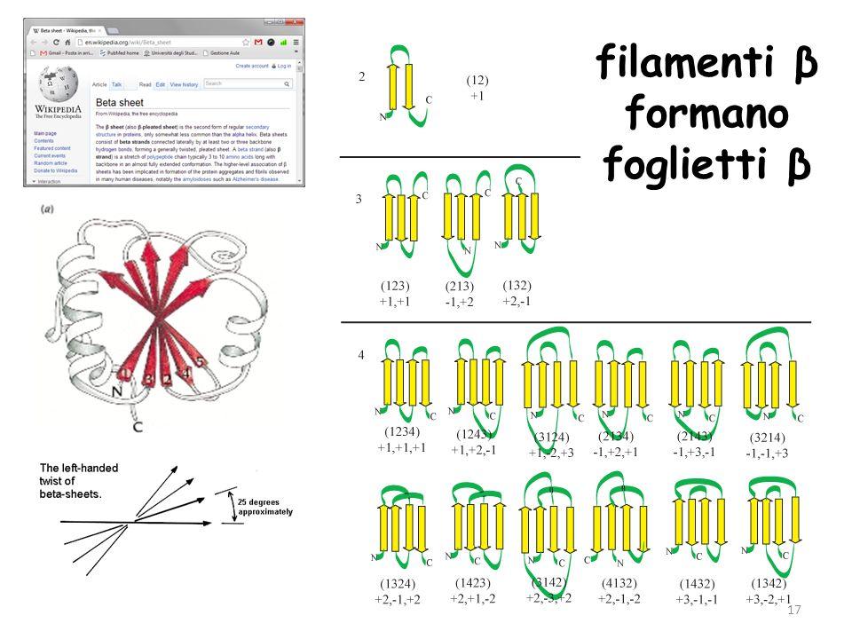 17 filamenti β formano foglietti β
