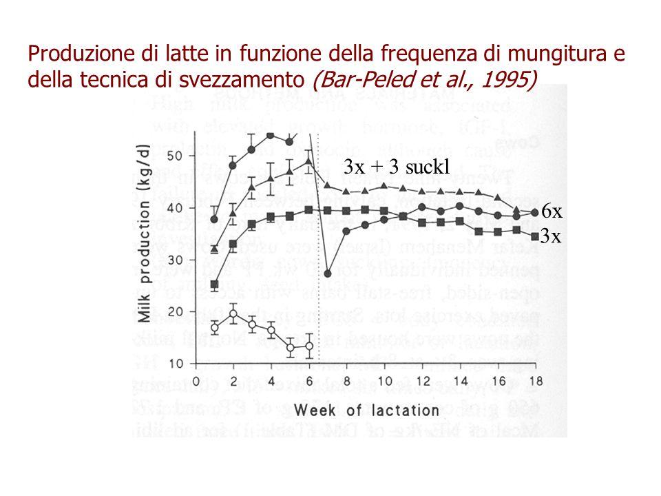 Produzione di latte in funzione della frequenza di mungitura e della tecnica di svezzamento (Bar-Peled et al., 1995) 3x 6x 3x + 3 suckl
