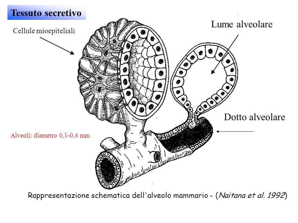 Rappresentazione schematica dell'alveolo mammario - (Naitana et al. 1992) Cellule mioepiteliali Dotto alveolare Lume alveolare Tessuto secretivo Alveo
