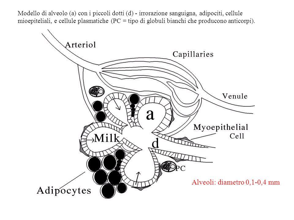 Modello di alveolo (a) con i piccoli dotti (d) - irrorazione sanguigna, adipociti, cellule mioepiteliali, e cellule plasmatiche (PC = tipo di globuli