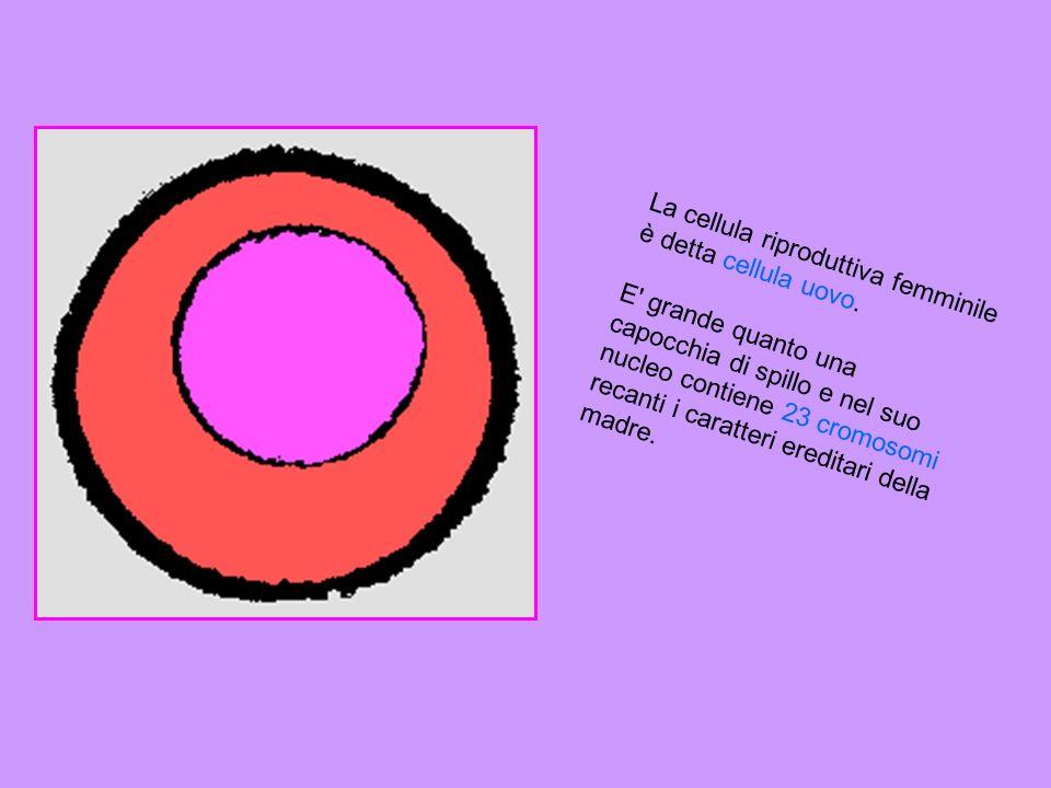 La cellula riproduttiva maschile è lo spermatozoo. Ogni spermatozoo e una cellula microscopica formata da una testa, contenente il nucleo e da una lun