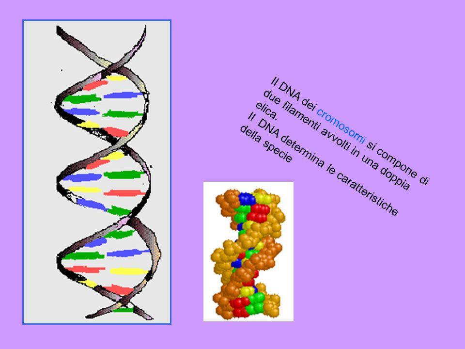 I cromosomi sono corpuscoli a forma di bastoncino contenuti nel nucleo di ogni cellula. I cromosomi sono costituiti da una lunga molecola di DNA e son