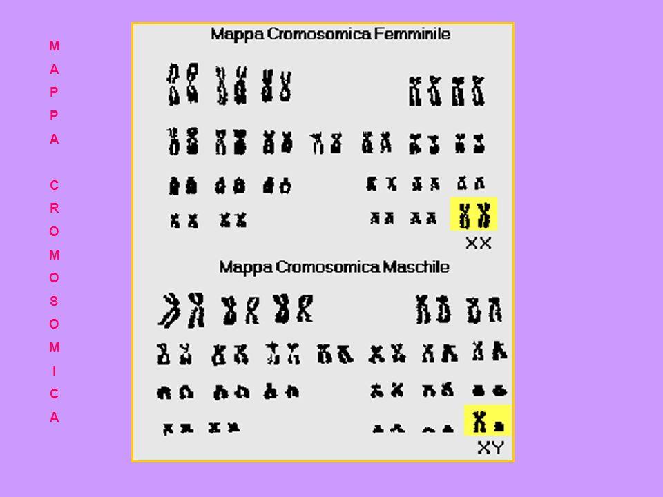Il DNA dei cromosomi si compone di due filamenti avvolti in una doppia elica. Il DNA determina le caratteristiche della specie