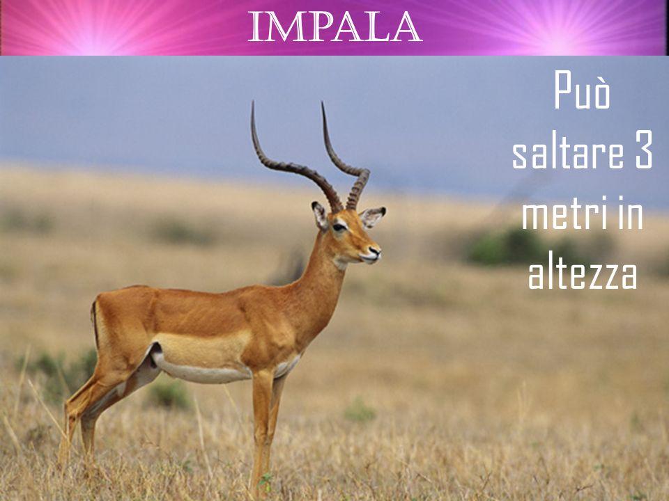 Impala Può saltare 3 metri in altezza