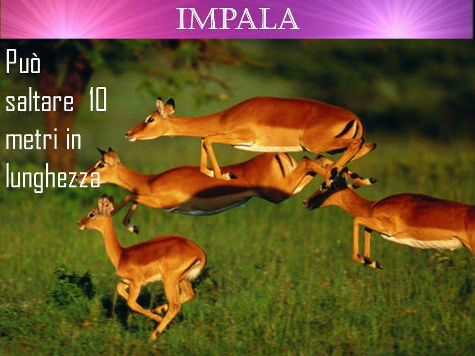 impala Può saltare 10 metri in lunghezza