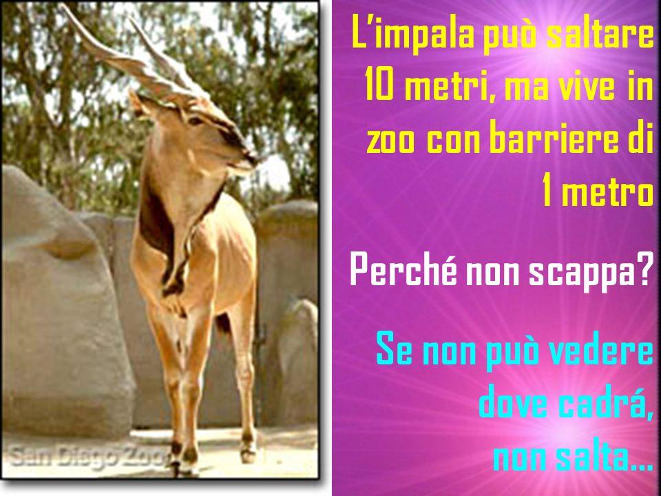 Limpala può saltare 10 metri, ma vive in zoo con barriere di 1 metro Perché non scappa? Se non può vedere dove cadrá, non salta…