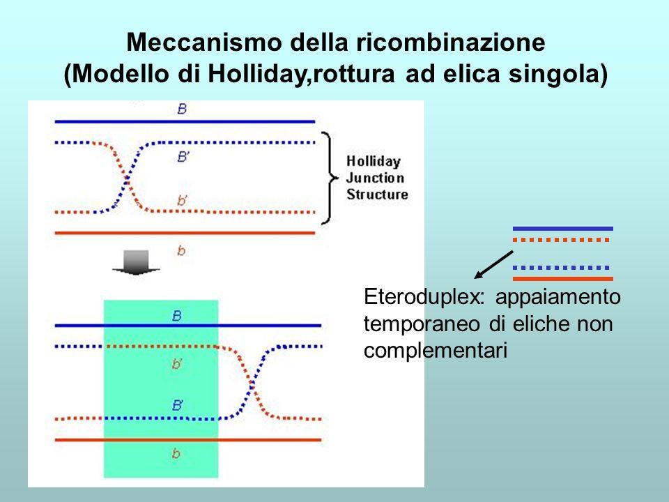 Eteroduplex: appaiamento temporaneo di eliche non complementari