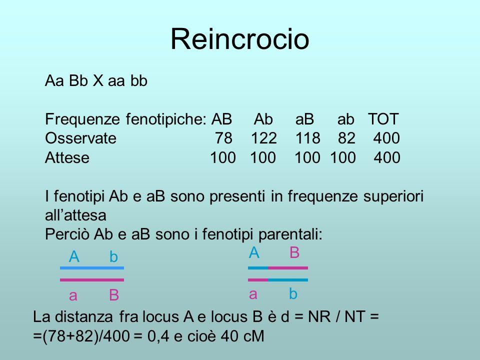 Reincrocio Aa Bb X aa bb Frequenze fenotipiche: AB Ab aB ab TOT Osservate 78 122 118 82 400 Attese 100 100 100 100 400 I fenotipi Ab e aB sono present