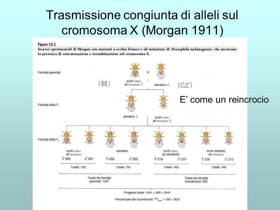 Trasmissione congiunta di alleli sul cromosoma X (Morgan 1911) E come un reincrocio