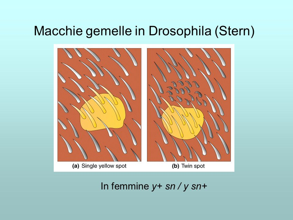 Macchie gemelle in Drosophila (Stern) In femmine y+ sn / y sn+