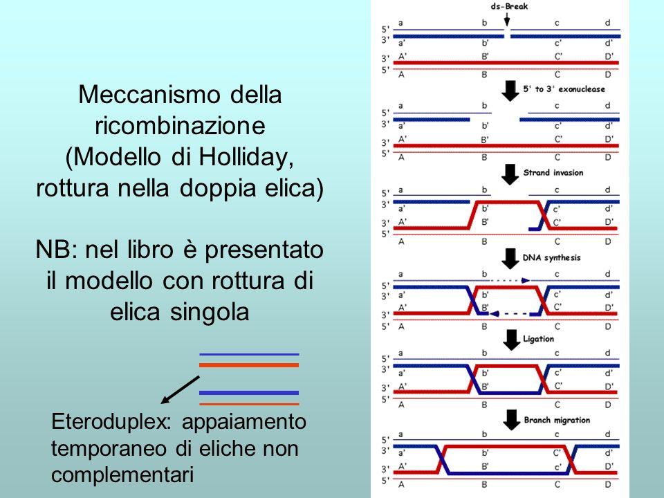 Meccanismo della ricombinazione (Modello di Holliday, rottura nella doppia elica) NB: nel libro è presentato il modello con rottura di elica singola E