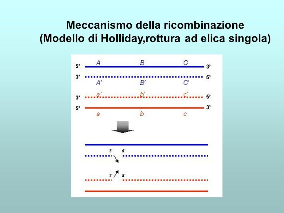 Meccanismo della ricombinazione (Modello di Holliday,rottura ad elica singola)