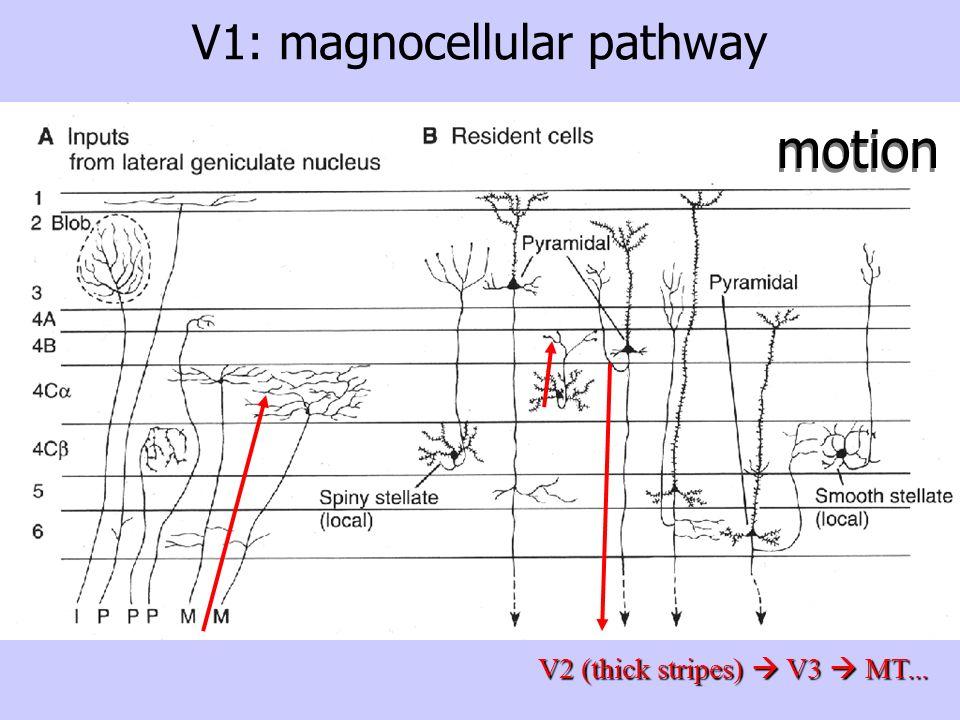 V1: magnocellular pathwayV2 (thick stripes) V3 MT... motion