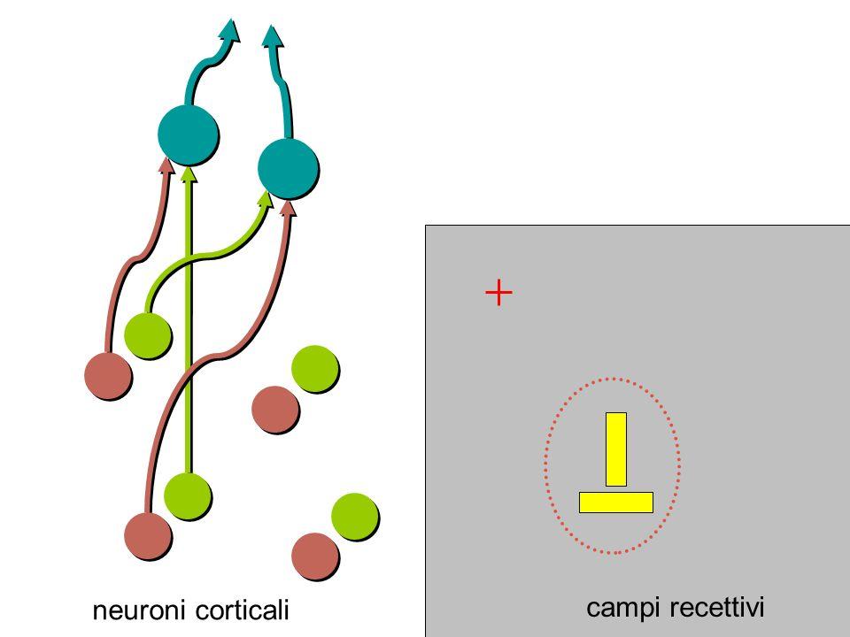 campi recettivi neuroni corticali