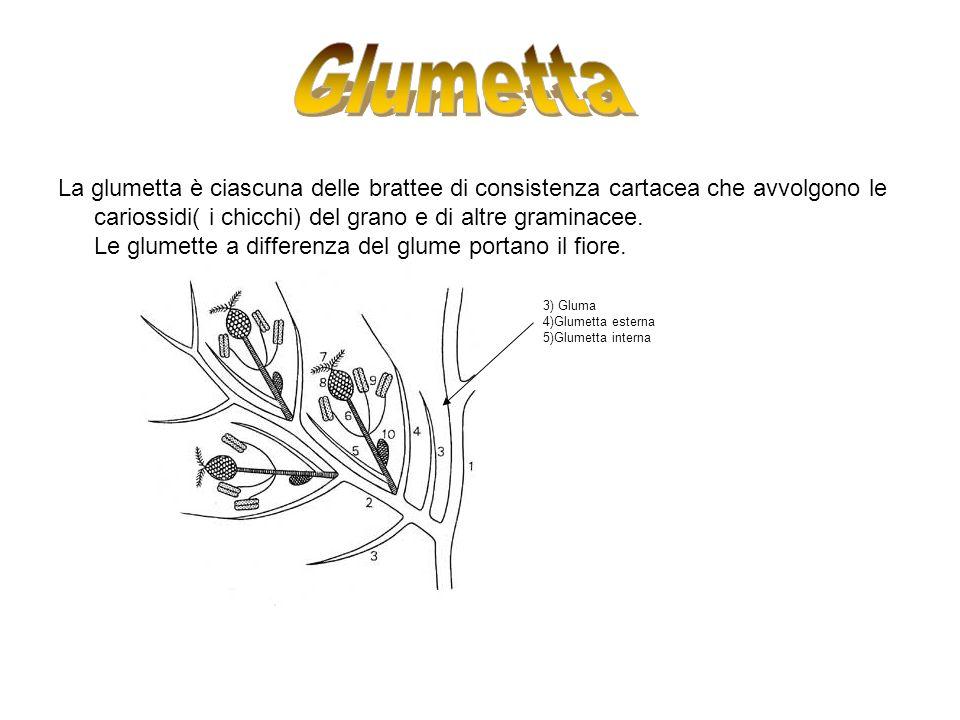 La glumetta è ciascuna delle brattee di consistenza cartacea che avvolgono le cariossidi( i chicchi) del grano e di altre graminacee. Le glumette a di