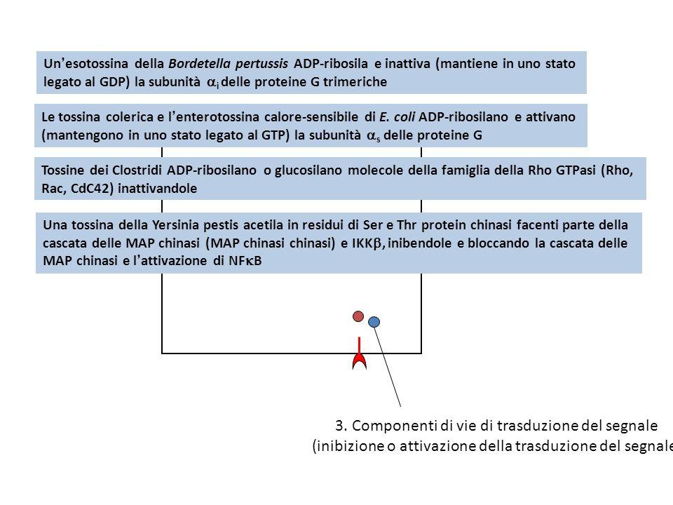3. Componenti di vie di trasduzione del segnale (inibizione o attivazione della trasduzione del segnale) Unesotossina della Bordetella pertussis ADP-r
