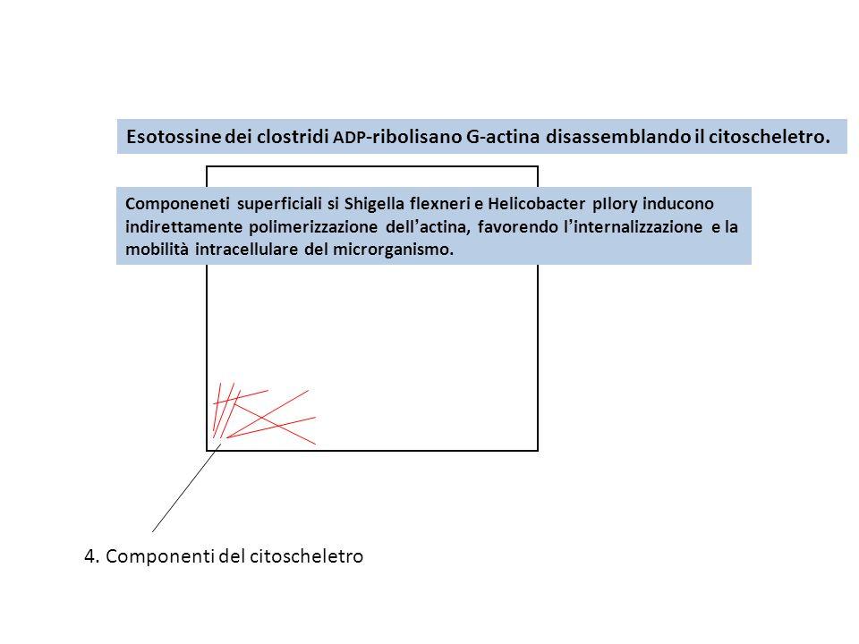 4. Componenti del citoscheletro Esotossine dei clostridi ADP -ribolisano G-actina disassemblando il citoscheletro. Componeneti superficiali si Shigell