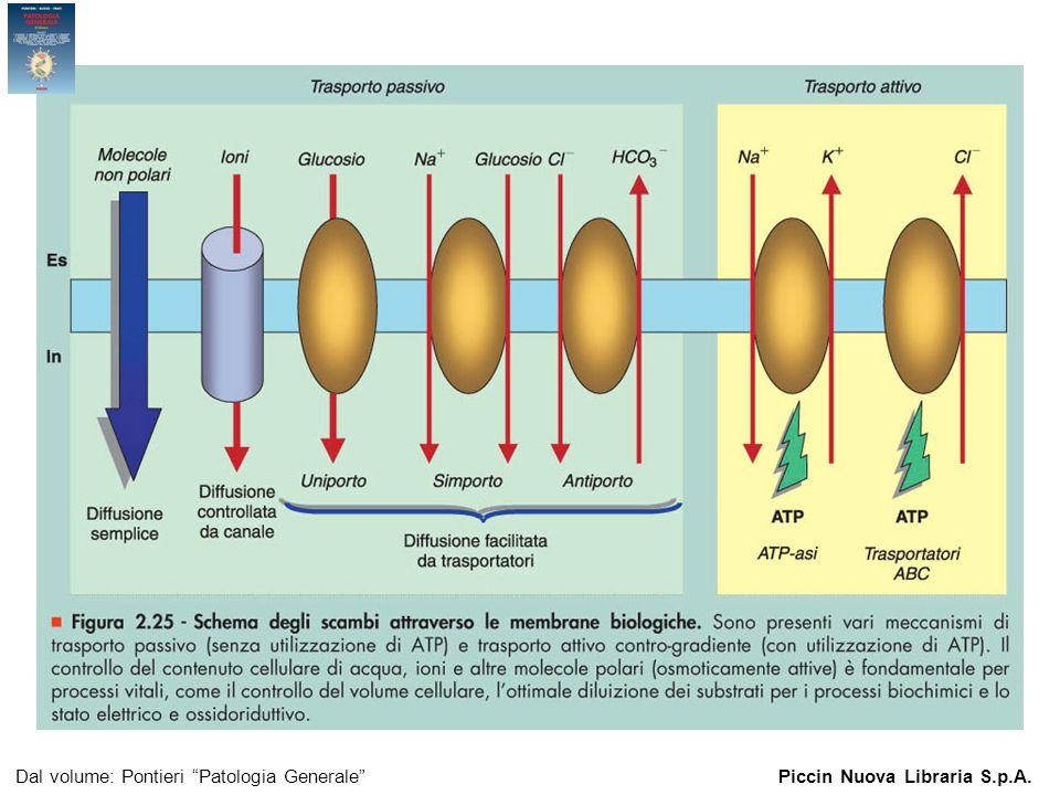 Figura 2.25 - Schema degli scambi attraverso le membrane biologiche. Dal volume: Pontieri Patologia GeneralePiccin Nuova Libraria S.p.A.