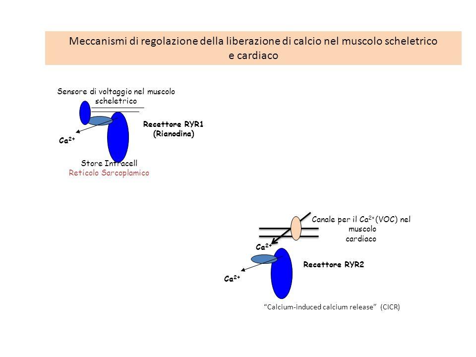 Store Intracell Reticolo Sarcoplamico Recettore RYR1 (Rianodina) Ca 2+ Sensore di voltaggio nel muscolo scheletrico Recettore RYR2 Ca 2+ Canale per il