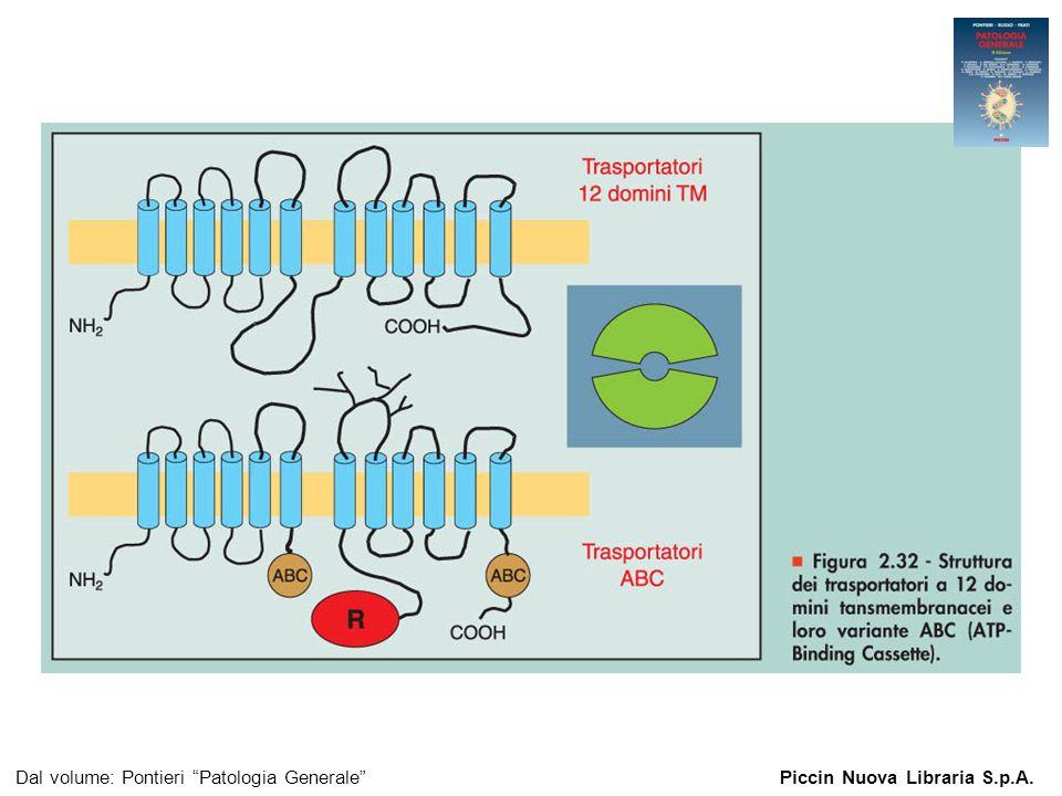 Figura 2.32 - Struttura dei trasportatori a 12 domini tansmembranacei e loro variante ABC (ATP-Binding Cassette). Dal volume: Pontieri Patologia Gener