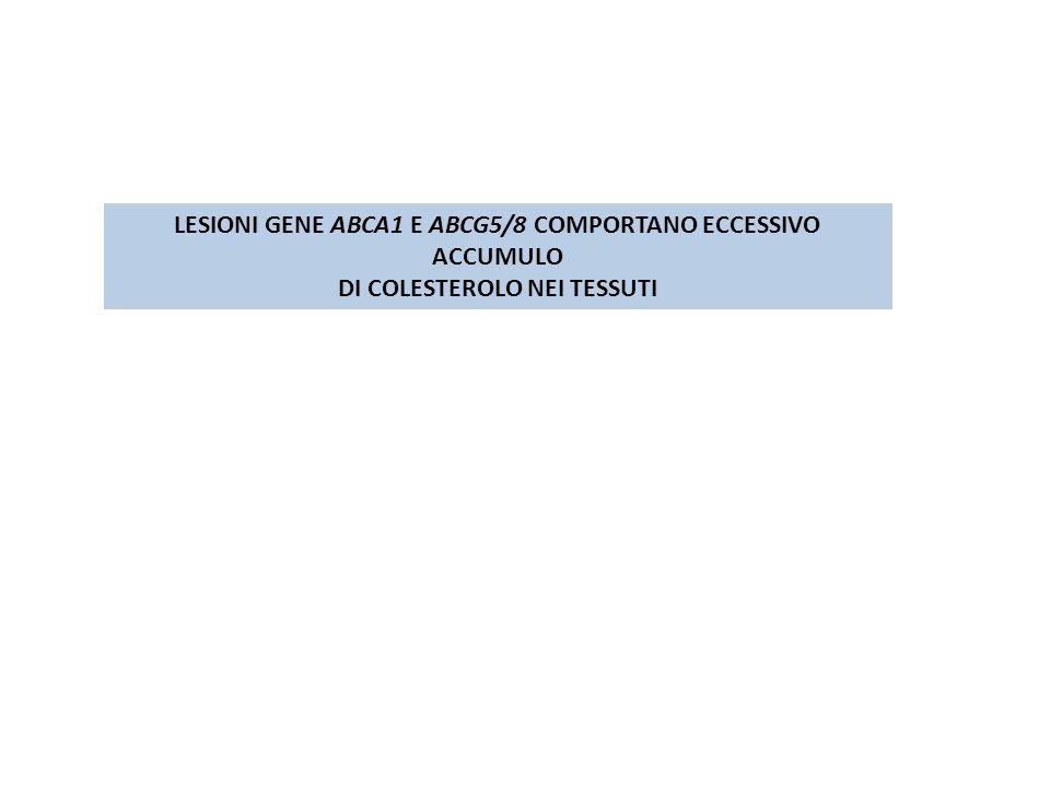LESIONI GENE ABCA1 E ABCG5/8 COMPORTANO ECCESSIVO ACCUMULO DI COLESTEROLO NEI TESSUTI