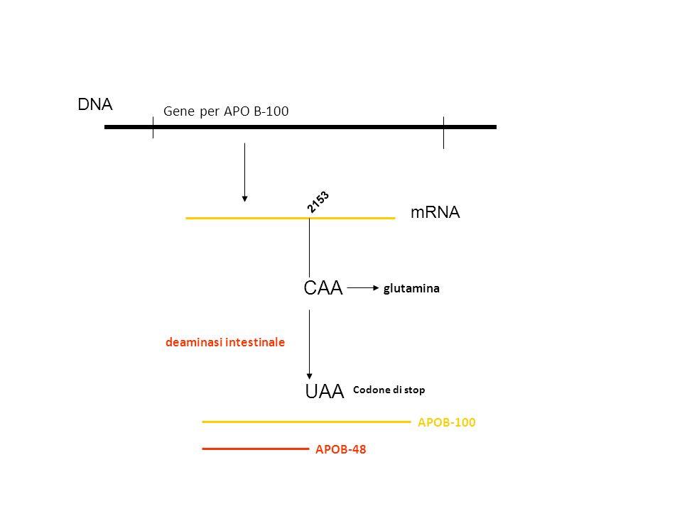 CAA DNA Gene per APO B-100 mRNA 2153 glutamina UAA Codone di stop deaminasi intestinale APOB-100 APOB-48
