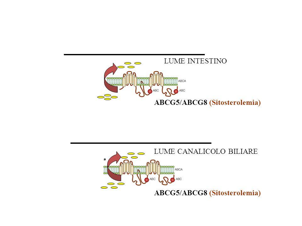 LUME INTESTINO ABCG5/ABCG8 (Sitosterolemia) LUME CANALICOLO BILIARE