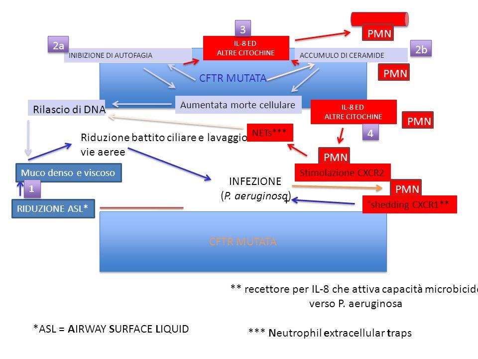 CFTR MUTATA RIDUZIONE ASL* *ASL = AIRWAY SURFACE LIQUID Muco denso e viscoso Riduzione battito ciliare e lavaggio vie aeree INFEZIONE (P. aeruginosa)
