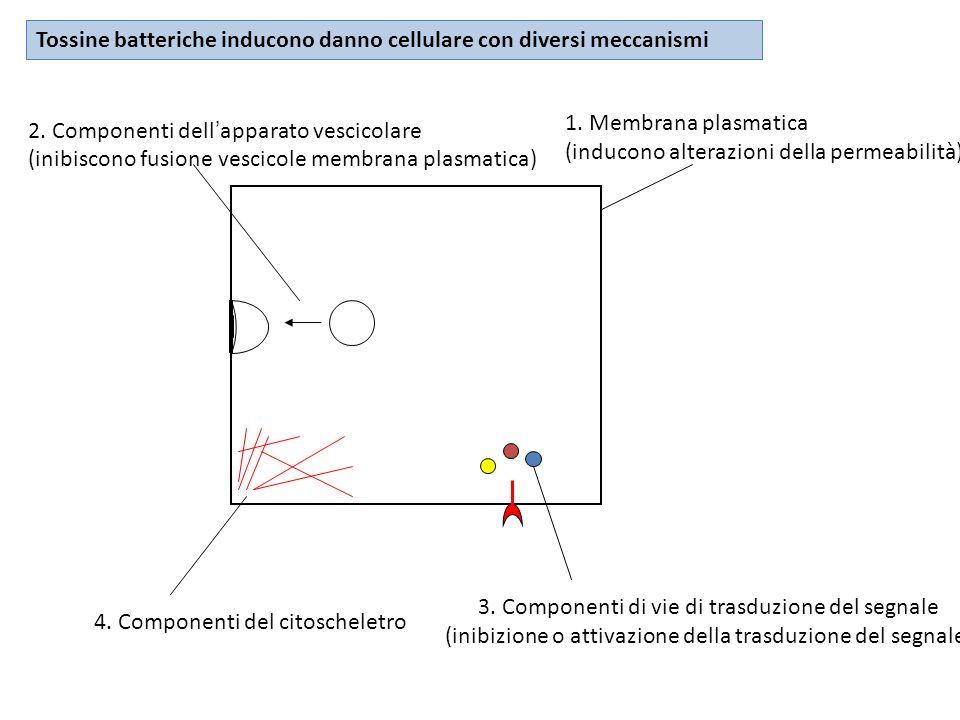 1. Membrana plasmatica (inducono alterazioni della permeabilità) 2. Componenti dellapparato vescicolare (inibiscono fusione vescicole membrana plasmat