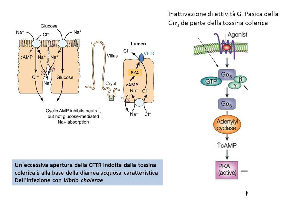 CFTR PKA cAMP Inattivazione di attività GTPasica della G s da parte della tossina colerica Uneccessiva apertura della CFTR indotta dalla tossina coler