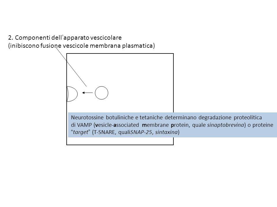 2. Componenti dellapparato vescicolare (inibiscono fusione vescicole membrana plasmatica) Neurotossine botuliniche e tetaniche determinano degradazion
