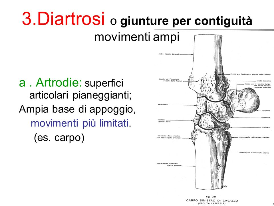 a.Artrodie: superfici articolari pianeggianti; Ampia base di appoggio, movimenti più limitati.