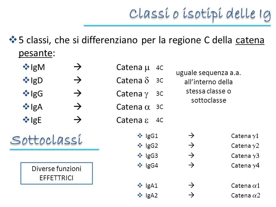 5 classi, che si differenziano per la regione C della catena pesante: IgM Catena IgD Catena IgG Catena IgA Catena IgE Catena Classi o isotipi delle Ig IgG1 Catena IgG2 Catena IgG3 Catena IgG4 Catena IgA1 Catena IgA2 Catena uguale sequenza a.a.