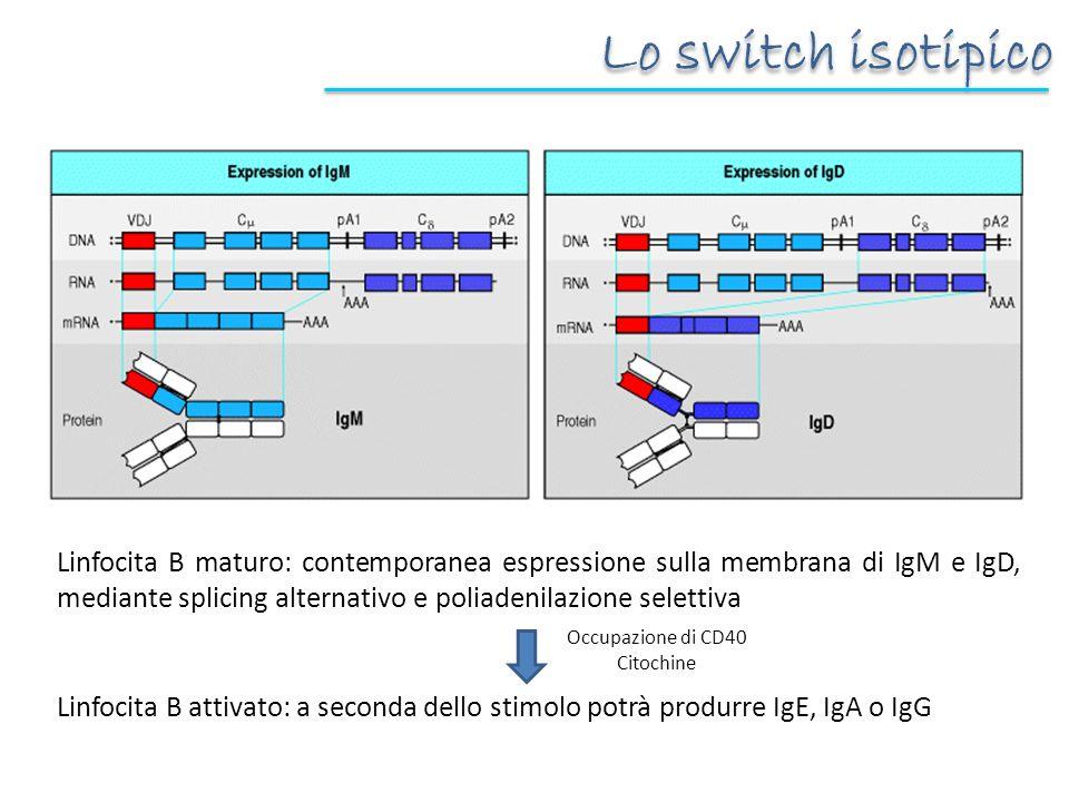 Linfocita B maturo: contemporanea espressione sulla membrana di IgM e IgD, mediante splicing alternativo e poliadenilazione selettiva Linfocita B attivato: a seconda dello stimolo potrà produrre IgE, IgA o IgG Occupazione di CD40 Citochine Lo switch isotipico