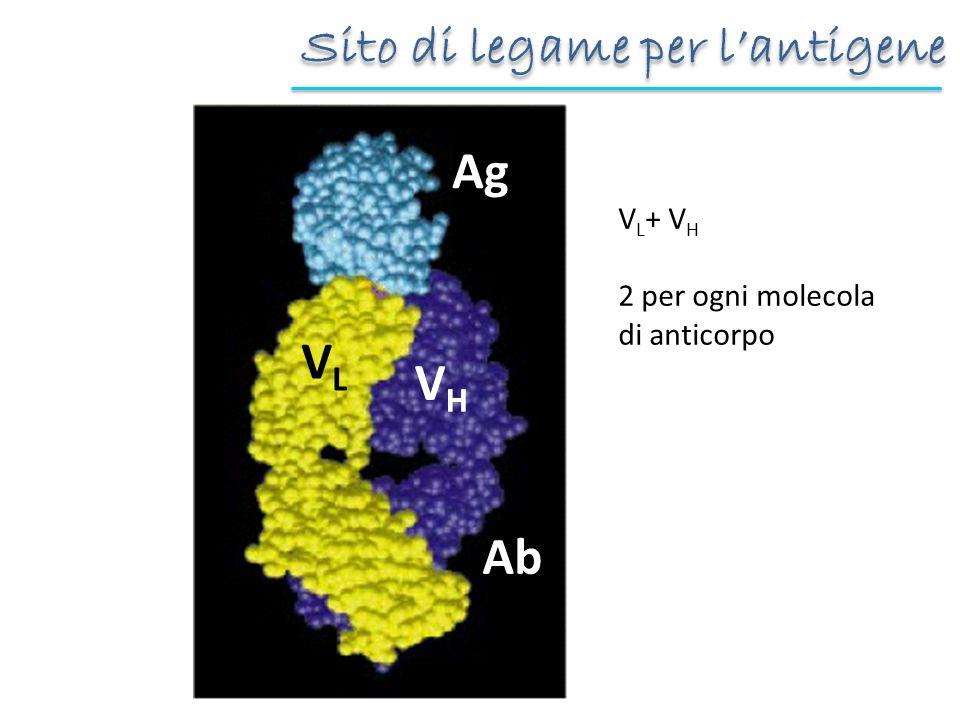Sito di legame per lantigene VHVH VLVL Ag Ab V L + V H 2 per ogni molecola di anticorpo