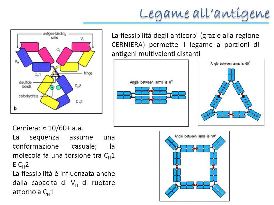 Legame allantigene La flessibilità degli anticorpi (grazie alla regione CERNIERA) permette il legame a porzioni di antigeni multivalenti distanti Cerniera: 10/60+ a.a.