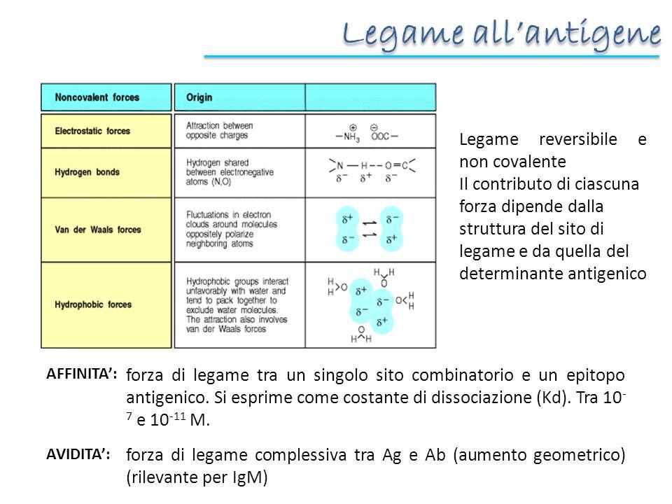 Legame allantigene Legame reversibile e non covalente Il contributo di ciascuna forza dipende dalla struttura del sito di legame e da quella del determinante antigenico forza di legame tra un singolo sito combinatorio e un epitopo antigenico.